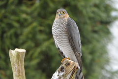Eurasian Sparrowhawk imagem de stock