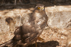 Eurasian Sparrowhawk fotografia stock libera da diritti