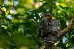 Eurasian Sparrowhawk Royaltyfri Bild