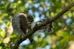 Eurasian Sparrowhawk Arkivfoto