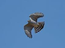 Eurasian Sparrowhawk (Accipiter Nisus) fotografia stock