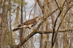 The Eurasian sparrowhawk Accipiter nisus Royalty Free Stock Images