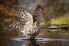 The Eurasian Sparrowhawk, accipiter nisus is bathing in forest waterhole in the beautiful colorful autumn environment. Pretty stock image