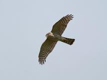 Eurasian sparrowhawk (Accipiter nisus) Stock Photo