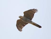 Eurasian sparrowhawk (Accipiter nisus) Royalty Free Stock Photography