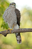 Eurasian sparrowhawk (Accipiter nisus) Royalty Free Stock Image