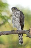 Eurasian sparrowhawk (Accipiter nisus) Royalty Free Stock Photo