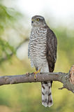 Eurasian sparrowhawk (Accipiter nisus) Royalty Free Stock Photos