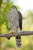 Eurasian sparrowhawk (Accipiter nisus) Royalty Free Stock Photography