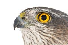 Eurasian Sparrowhawk, Accipiter nisus, female. Close-up portrait royalty free stock photos