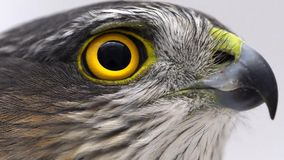 Eurasian Sparrowhawk Accipiter nisus female. Close-up portrait stock footage