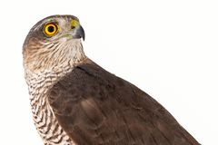 Eurasian Sparrowhawk Accipiter nisus female. Isolated on white. Close-up portrait royalty free stock photo