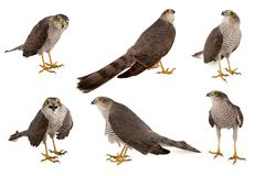 Eurasian Sparrowhawk Accipiter nisus female. Isolated on white. Side view stock photo