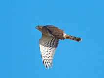 Eurasian sparrowhawk (Accipiter nisus) Stock Photos