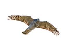 Eurasian Sparrowhawk (Accipiter nisus) Royalty Free Stock Image
