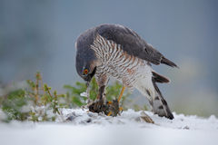 Eurasian sparrowhawk, Accipiter nisus, sitting on snow in the forest with catch little songbird Royalty Free Stock Photos