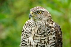 Eurasian Sparrowhawk (Accipiter Nisus). The eurasian sparrowhawk you can also call northern sparrowhawk Stock Image