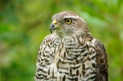 Eurasian Sparrowhawk (Accipiter Nisus) Stock Image