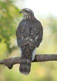 Eurasian Sparrowhawk (accipiteren Nisus) Arkivbilder