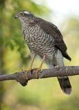 Eurasian Sparrowhawk (accipiteren Nisus) Arkivfoton