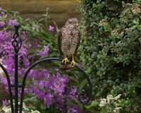Sparrowhawk. The Eurasian sparrowhawk, also known as the northern sparrowhawk or simply the sparrowhawk, is a small bird of prey in the family Accipitridae. This royalty free stock images