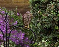 Sparrowhawk. The Eurasian sparrowhawk, also known as the northern sparrowhawk or simply the sparrowhawk, is a small bird of prey in the family Accipitridae. This stock photo