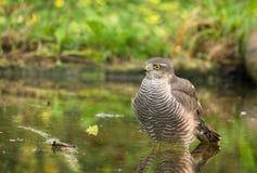 Eurasian Sparrowhawk che prende un bagno immagine stock