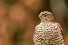 Eurasian sparrowhawk close-up. Eurasian sparrowhawk  close-up on a three Royalty Free Stock Photography