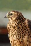 Eurasian sparrowhawk closeup Stock Photo