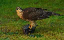 Eurasian Sparrowhawk com a rapina recentemente travada Imagens de Stock Royalty Free