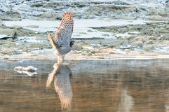 Eurasian sparrowhawk displaying wings while trying to drink water Stock Photo