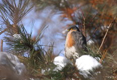Eurasian sparrowhawk male. Eurasian sparrowhawk (accipiter nisus) male resting in a pine tree Stock Photo