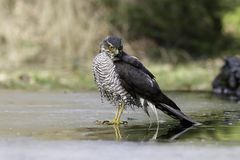 Eurasian sparrowhawk standing on ice Stock Images