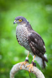 Eurasian sparrowhawk Royalty Free Stock Images