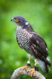 Eurasian sparrowhawk Stock Photos
