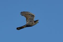 Eurasian sparrowhawk (Accipiter nisus) Royalty Free Stock Photo