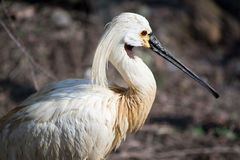 Eurasian Spoonbill. In Prague zoo Royalty Free Stock Image