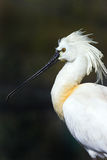 Eurasian Spoonbill Stock Photo