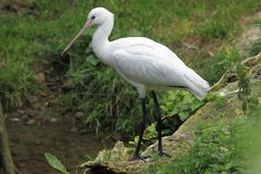 Eurasian spoonbill Stock Images