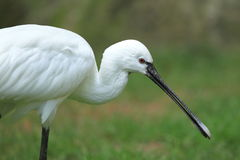 Eurasian spoonbill. The detail of eurasian spoonbill royalty free stock image