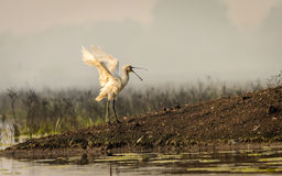 Eurasian Spoonbill with beautiful pose Stock Photo