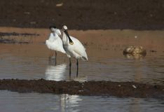 Eurasian spoonbill. Bird standing  along the banks of the river for searching food. bird`s beak would be like a spoon Stock Photography
