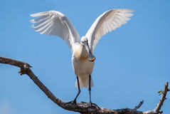 Eurasian spoonbill on a branch with open wings Royalty Free Stock Photo
