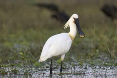 Eurasian spoonbill or common spoonbill, Platalea leucorodia, India. Eurasian spoonbill or common spoonbill, Platalea leucorodia inside lake India stock image