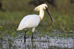 Eurasian spoonbill or common spoonbill, Platalea leucorodia, India. Eurasian spoonbill or common spoonbill, Platalea leucorodia inside lake India stock images