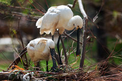 Eurasian Spoonbill Stock Photos