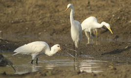 Eurasian Spoonbill/ Common Spoonbill Feeding Royalty Free Stock Photography