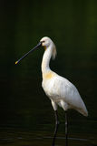 Eurasian Spoonbill or Common Spoonbill Stock Image