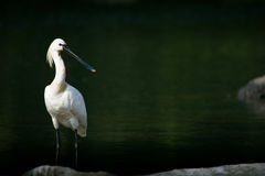 Eurasian Spoonbill or Common Spoonbill Royalty Free Stock Images