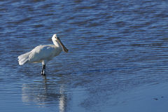 Eurasian Spoonbill hunting in shallow water Royalty Free Stock Photo